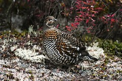 Tétras du Canada femelle--Spruce Grouse female (Falcipennis canadensis) (IN EXPLORE no-36) 作者 Daniel