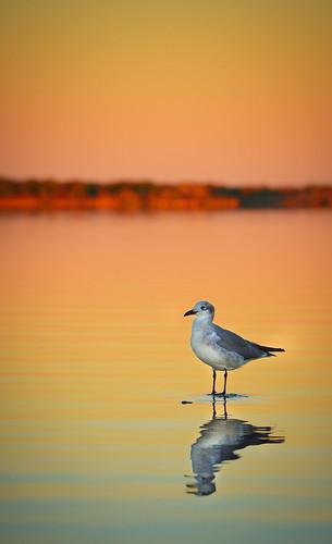 ninigret pond sunset lagoon water reflection bird light orange color calm charlestown ri rhode island rwgrennan rgrennan nikon d610 kayaking travel outdoors nature seagull gull ocean state