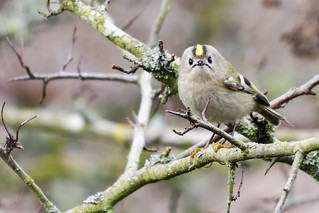 Goldcrest 03 Derbyshire 06-02-2019 Ian W | by bo_nzo