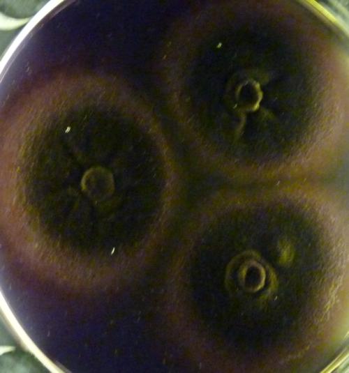 Aspergillus terreus 30902720717_ccf6b52373_o
