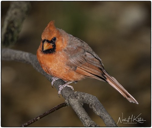 Male Northern Cardinal_DSC5857 photoshop NIK edit ©