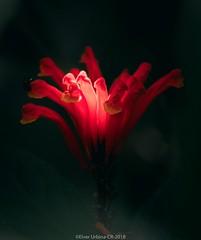 Flower / flor, Oct 2018, Costa Rica.