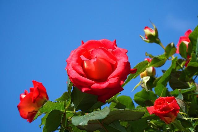 Rose_(2018_11_11)_1_resized_1 鮮やかな赤色の薔薇の花を撮影した写真。 明るく青い空に緑色の葉と赤い花が映える。