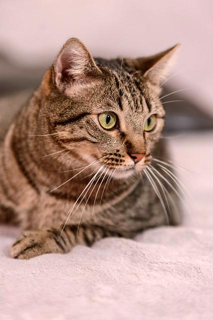 Ava, gata parda muy dulce y buena esterilizada, nacida en Enero´17, en adopción Valencia. RESERVADA. 31980980557_acd5e78b2f_z