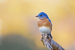 bluebird golden bokah