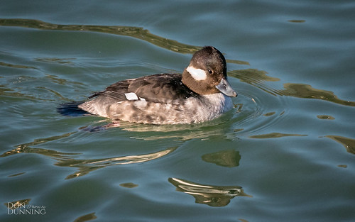 Female or First Year Male Bufflehead