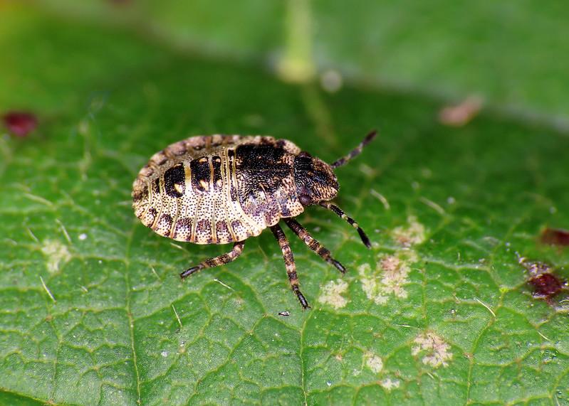 Red-legged Shieldbug - Pentatoma rufipes