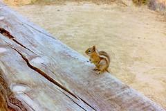 USA, la Californie, dans le Roaring Camp Railroads cet écureuil