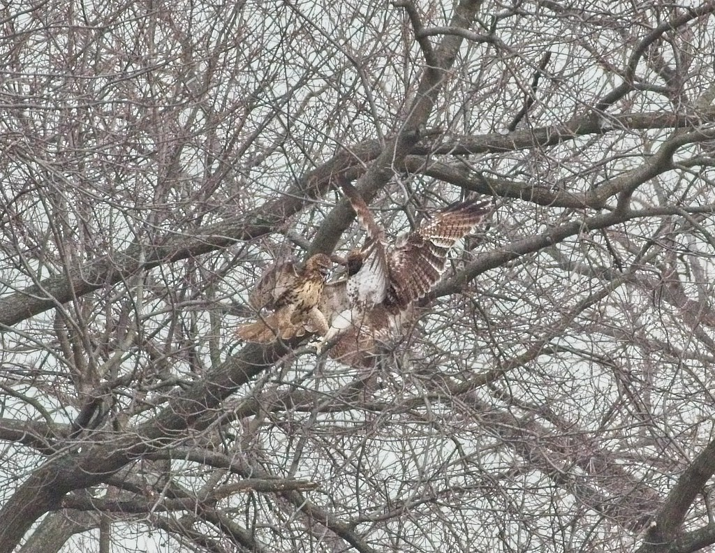 Red-tails fighting