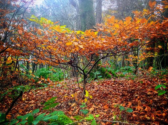 Autumn Sapling