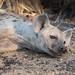 Hyaena siesta