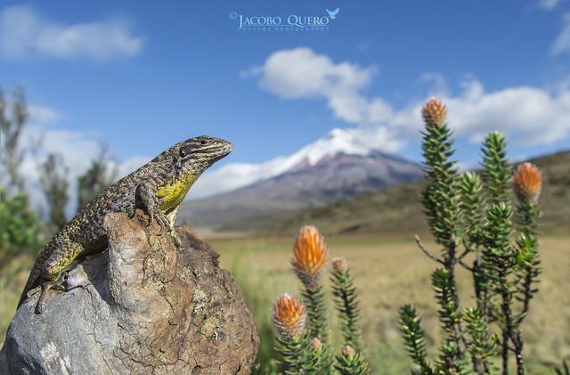 Lagartija andina de Gunther/ Günther's Whorltail Iguana (Stenocercus guentheri)