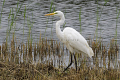 Great White Egret (Ardea alba) - Somerset.