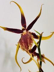 Hawaiian Mystic Maze. Orquídea Aranha.