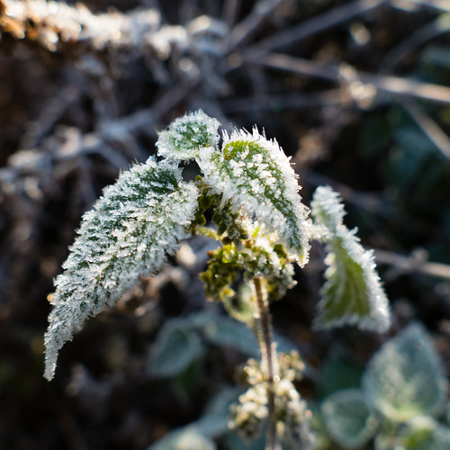 First frost of autumn: nettle
