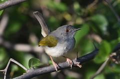 Grey-backed Camaroptera  (Camaroptera brevicaudata)