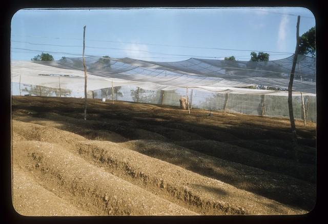 AZ65--Tobacco planter