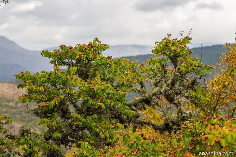 Деревце в лишайнике, Крым