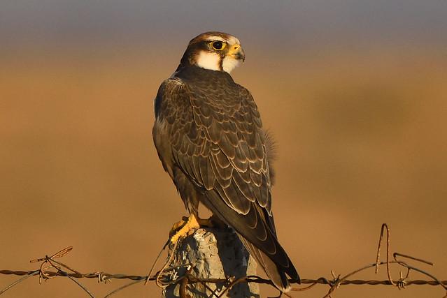 Laggar falcon, Nikon D5600, AF-S Nikkor 200-500mm f/5.6E ED VR