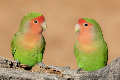 wood flickrexplore landscape sigma canon ngc tucson 5dmarkiv male 150x600 macro rosyfacedlovebird pair bird naturetop wildlife arizona eos flickr bokeh animal