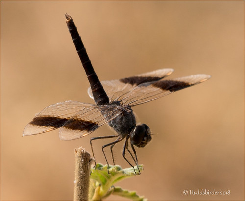 Banded Groundling Dragonfly