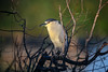 Black-crowned night heron at sunrise at the Venice Rookery, Venice, Florida