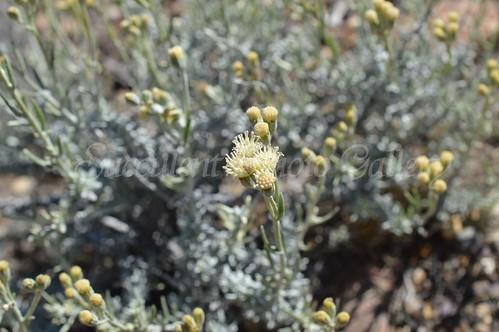 aDSC_0025 Senecio filaginoides セネキオ フィラギノイデス
