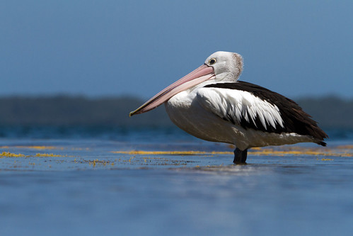 Pelican low down