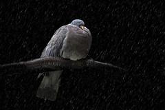 Wood pigeon in the rain 2
