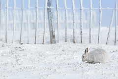 Mountain Hare - Peaceful