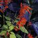 Salvia spendens and Pak choy 'Violetta'