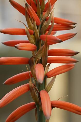 Aloe melanacantha 30940616867_6ef0910337