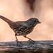 Fox Sparrow 111118