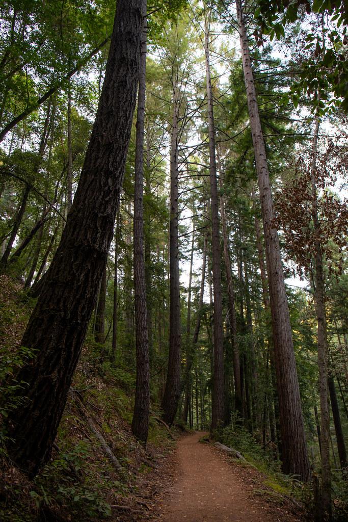 11.18. Henry Cowell Redwoods State Park. Fallen Creek Unit