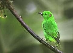 Glistening-Green Tanager in Ecuador