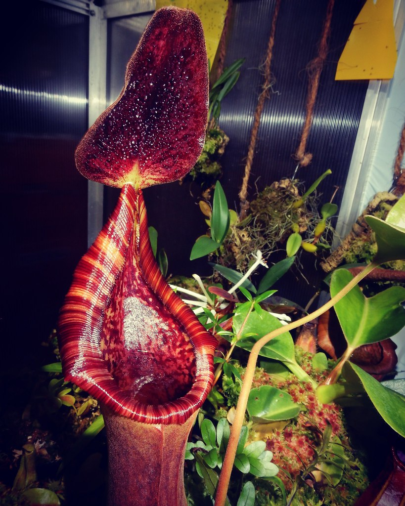 Nepenthes 2019