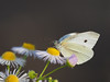 Photo:Small white butterfly (Pieris rapae,モンシロチョウ) By Greg Peterson in Japan