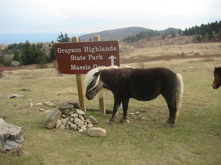 Wild ponies at Grayson Highlands