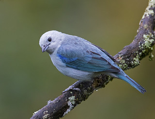 Tangara Azuleja-Blue-grey Tanager-Thraupis episcopus