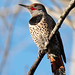 Flicker at Montlake Fill