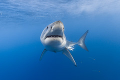 Image by George Probst (sharkpix) and image name Introducing Bergvall photo  about Bergvall is a male great white shark who was first identified last season (2017) at Isla de Guadalupe. He was one of the more curious sharks that I have encountered at Guadalupe so far this year.