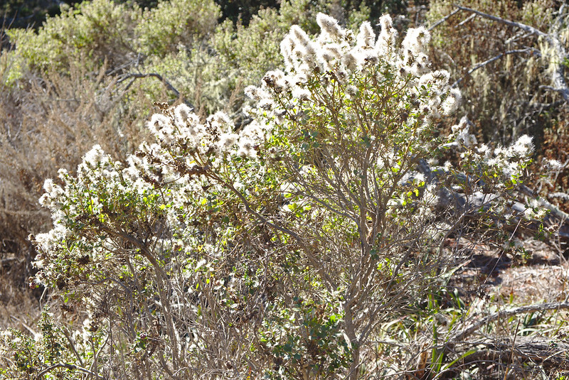 Coyote brush, backlit, Cypress Grove trail, Point Lobos