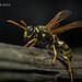 European Paper Wasp 5 by strjustin