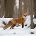 Renard Roux / fox by ALLAN .JR