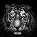 Tiger by chmeermann   www.chm-photography.com