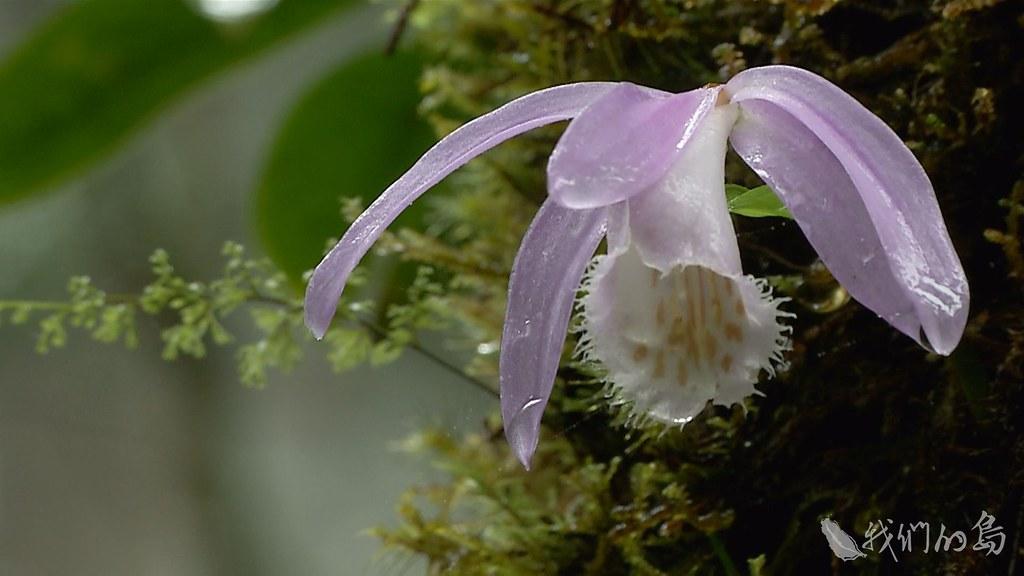 985-1- (98)台灣一葉蘭。