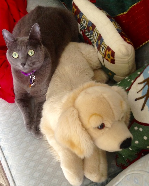 Russian Blue Cat Pictures And Information Cat Breeds Com