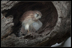 Nankeen Kestrel: Looking Forward Looking Back#2