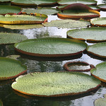 Water-Lillies-Pamplemouse-Mauritius by Martin Mellor