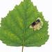 Ectoedemia occultella, Cullaloe, Fife, Scotland